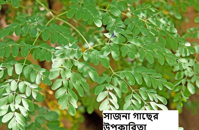 সাজিনা পাতার নানান পুষ্টিগুন খেলে অনেক উপকার।